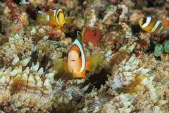 Clownfish家庭  免版税图库摄影
