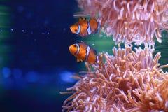 Clownfish或Amphiprioninae在海葵背景 免版税库存照片