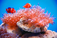 Clownfish或anemonefish在泡影海葵 库存图片