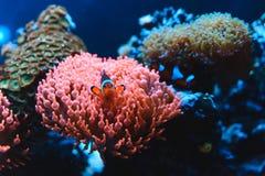 Clownfish的水下的图片,在银莲花属的Nemo鱼 库存图片