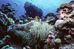 clownfish礁石 免版税库存照片