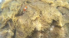 Clownfish à l'attraction de la Thaïlande banque de vidéos