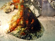 clownfish αυγά Στοκ εικόνα με δικαίωμα ελεύθερης χρήσης