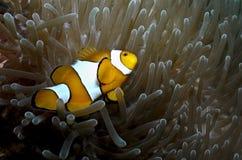 Clownfish και το anemone του στο νησί Togean Στοκ φωτογραφία με δικαίωμα ελεύθερης χρήσης