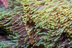Clownfish και anemone σε μια τροπική κοραλλιογενή ύφαλο Στοκ φωτογραφία με δικαίωμα ελεύθερης χρήσης