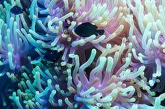 Clownfish και anemone σε μια τροπική κοραλλιογενή ύφαλο Στοκ εικόνα με δικαίωμα ελεύθερης χρήσης