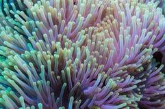 Clownfish και anemone σε μια τροπική κοραλλιογενή ύφαλο Στοκ φωτογραφίες με δικαίωμα ελεύθερης χρήσης