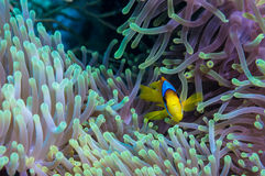 Clownfish και anemone σε μια τροπική κοραλλιογενή ύφαλο Στοκ Εικόνα