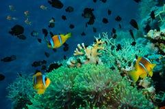 Clownfish και anemone σε μια τροπική κοραλλιογενή ύφαλο Στοκ Φωτογραφίες