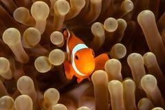 Clownfish και anemone Στοκ εικόνα με δικαίωμα ελεύθερης χρήσης