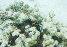 Clownfish και Humbug Damselfish Στοκ Εικόνα