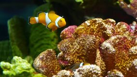 Clownfish κοντά στο κοράλλι στο ενυδρείο Μικρό clownfish που κολυμπά κοντά στα διάφορα μεγαλοπρεπή κοράλλια στο μαύρο υπόβαθρο στ απόθεμα βίντεο