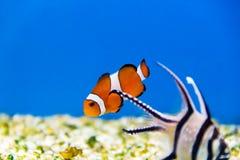 Clownfish με το apogon στο μπλε νερό Στοκ εικόνα με δικαίωμα ελεύθερης χρήσης
