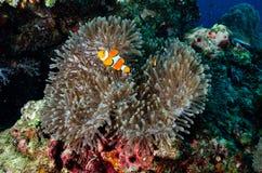 Clownfish, νησί Similan Στοκ Εικόνα