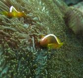 Clownfish σε έναν σκόπελο στο Μπαλί Στοκ εικόνα με δικαίωμα ελεύθερης χρήσης