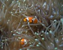 Clownfish σε έναν σκόπελο στο Μπαλί Στοκ Εικόνες