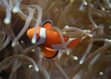 Clownfish σε έναν σκόπελο στο Μπαλί Στοκ Φωτογραφίες