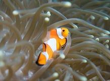 Clownfish σε έναν σκόπελο στο Μπαλί Στοκ εικόνες με δικαίωμα ελεύθερης χρήσης