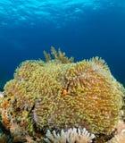 Clownfish σε ένα μεγάλο anemone σε μια τροπική κοραλλιογενή ύφαλο Στοκ εικόνα με δικαίωμα ελεύθερης χρήσης