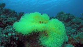 Clownfish σε ένα anemone θάλασσας 4K φιλμ μικρού μήκους