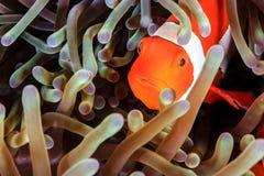 Clownfish σε ένα Anemone Στοκ Εικόνες