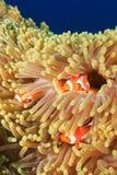 Clownfish σε ένα Anemone Στοκ εικόνα με δικαίωμα ελεύθερης χρήσης