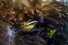 Clownfish σε Anemone Θαλάσσια ζωή Στοκ Φωτογραφία