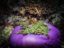 Clownfish σε Anemone Θαλάσσια ζωή Στοκ φωτογραφία με δικαίωμα ελεύθερης χρήσης