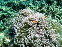 Clownfish σε Anemone Στοκ Εικόνες