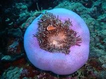 Clownfish σε Anemone Στοκ φωτογραφία με δικαίωμα ελεύθερης χρήσης