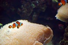 Clownfish σε Oceanografic, Βαλένθια, Ισπανία Στοκ Εικόνα
