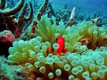 clownfish σκόπελος στοκ φωτογραφία