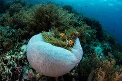 Clownfish στην Ινδονησία Στοκ Φωτογραφία