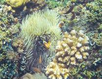 Clownfish στο ακτηνία Τροπική υποβρύχια φωτογραφία ακτών anemonefish Στοκ εικόνες με δικαίωμα ελεύθερης χρήσης