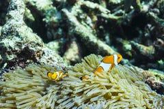 Clownfish στο εθνικό πάρκο Surin Στοκ εικόνες με δικαίωμα ελεύθερης χρήσης