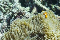 Clownfish στο εθνικό πάρκο Surin Στοκ Εικόνα
