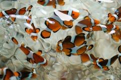 Clownfish στο ενυδρείο στοκ εικόνα με δικαίωμα ελεύθερης χρήσης