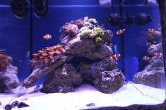 Clownfish στο μεγάλο ενυδρείο νερού της θάλασσας στοκ εικόνες με δικαίωμα ελεύθερης χρήσης