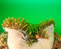 Clownfish στο πράσινο Στοκ φωτογραφία με δικαίωμα ελεύθερης χρήσης