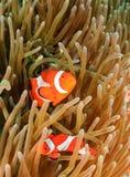Clownfish στο σπίτι τους Στοκ Φωτογραφία