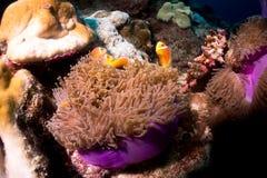 Clownfish στο anemone θάλασσας Στοκ Φωτογραφία