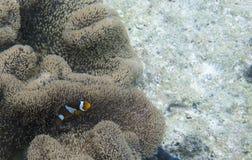 Clownfish στο anemone του Στοκ Φωτογραφία
