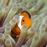 clownfish ψάρια τροπικά Στοκ Φωτογραφία