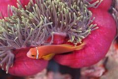 Clownfish, ψάρια anemone, κρύβοντας κάτω από την άκρη του ρόδινου και μπλε anemone θάλασσας Στοκ φωτογραφία με δικαίωμα ελεύθερης χρήσης