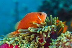 Clownfish, ψάρια anemone, που κρύβει στο ρόδινο anemone θάλασσας Στοκ Φωτογραφίες