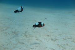 Clownfish в актинии Стоковые Фото