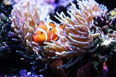 Clownfish в ветренице Стоковое Фото