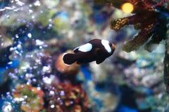 Clownfish или Anemonefish Стоковое Изображение