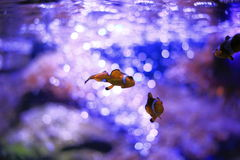 Clownfish или Anemonefish Стоковые Фотографии RF