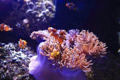 Clownfish или Anemonefish Стоковая Фотография